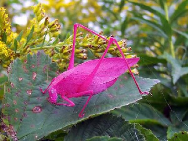 Pink Katydid
