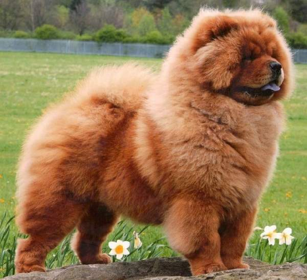Dog Breeds Long Hair Large