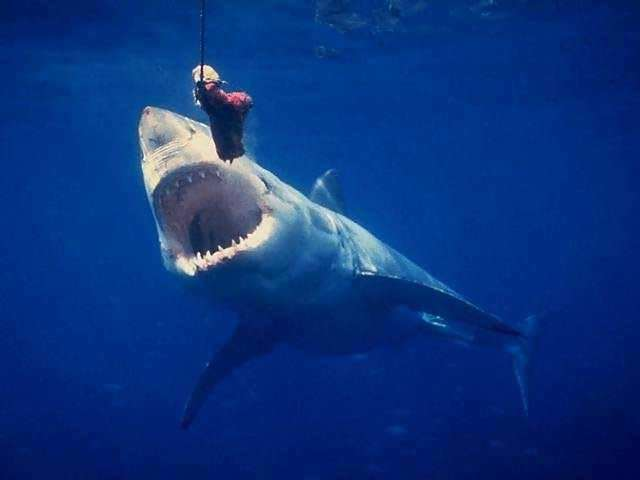 Great white shark jumping at helicopter